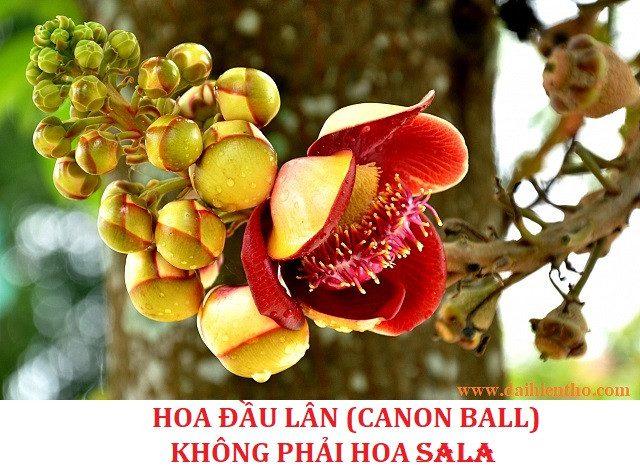 Nhầm lẫn giữa hoa Sala với hoa Đầu Lân (Hàm Rồng/Ngọc Kỳ Lân/Canon Ball)